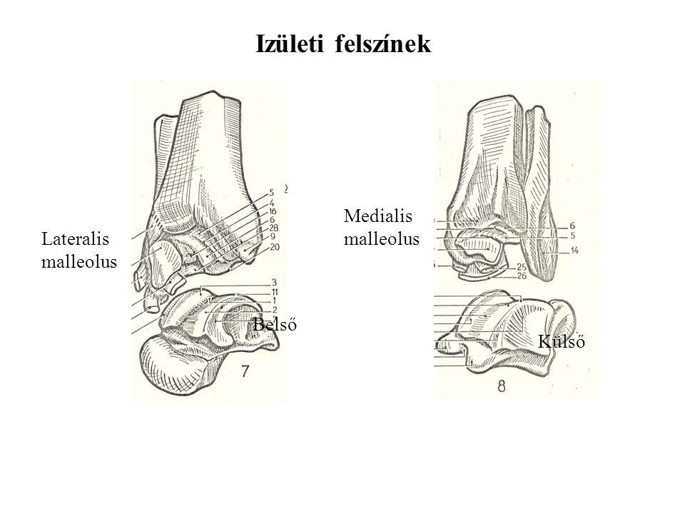 Izületi felszínek Medialis malleolus Lateralis malleolus Belső Külső