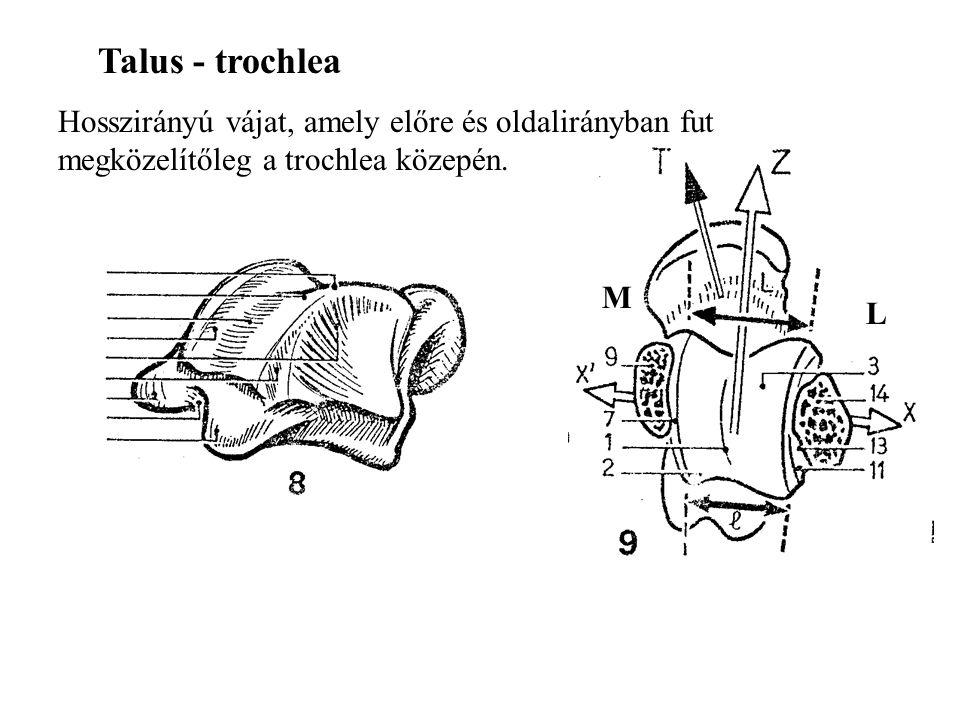 Talus - trochlea Hosszirányú vájat, amely előre és oldalirányban fut megközelítőleg a trochlea közepén.