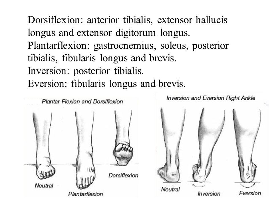 Dorsiflexion: anterior tibialis, extensor hallucis longus and extensor digitorum longus.