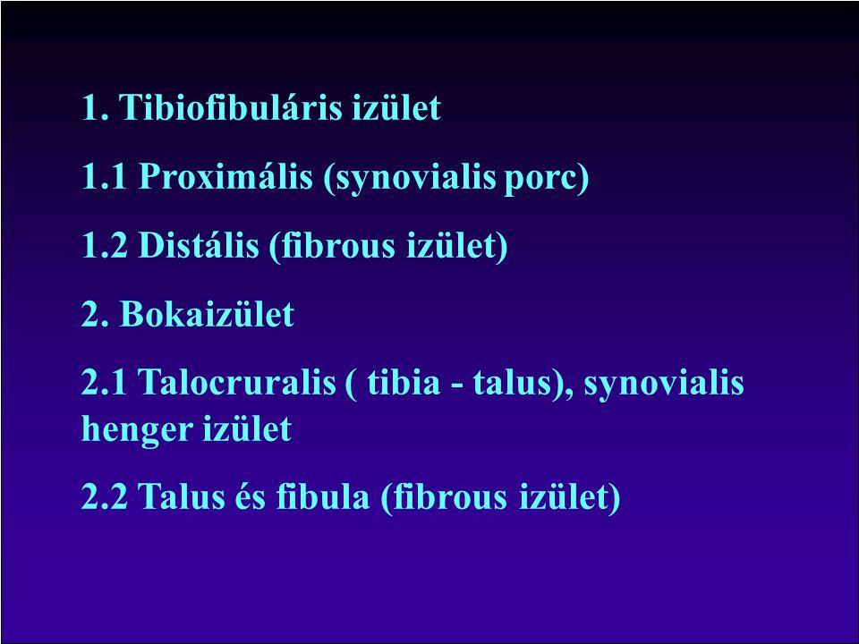 1. Tibiofibuláris izület