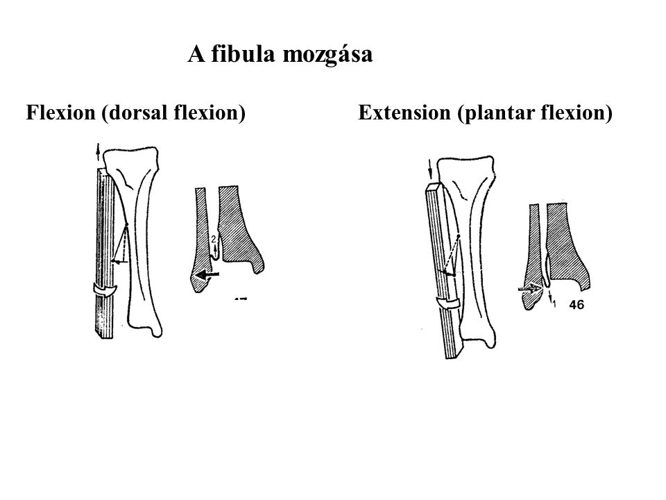 Flexion (dorsal flexion) Extension (plantar flexion)