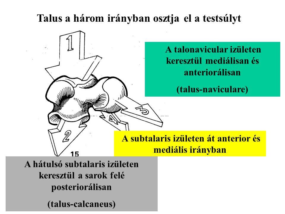 Talus a három irányban osztja el a testsúlyt
