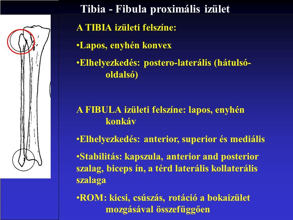 Tibia - Fibula proximális izület