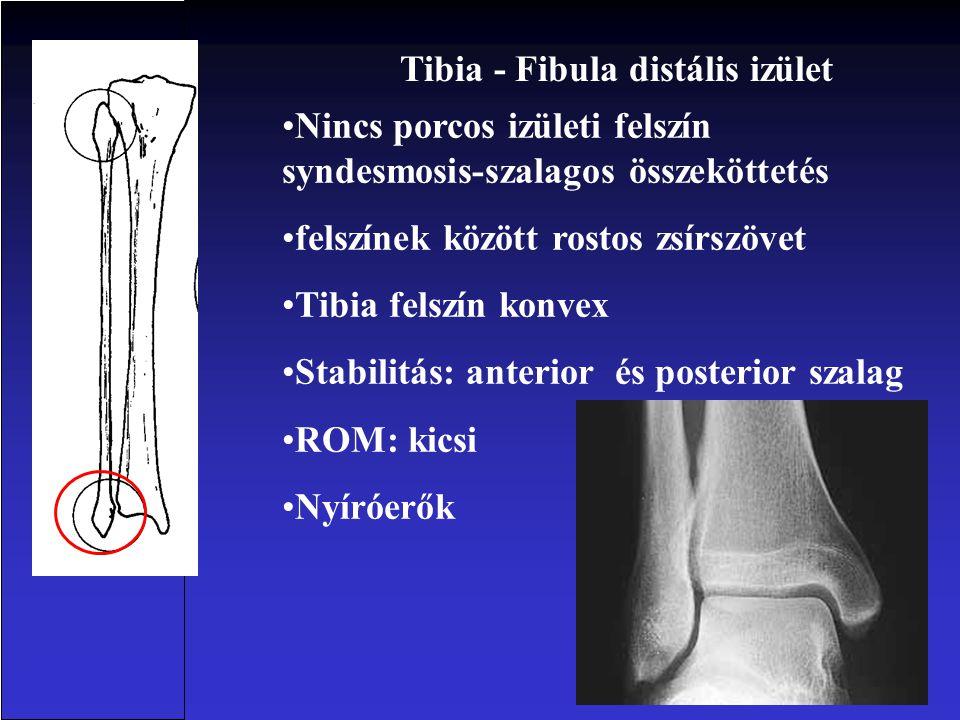 Tibia - Fibula distális izület