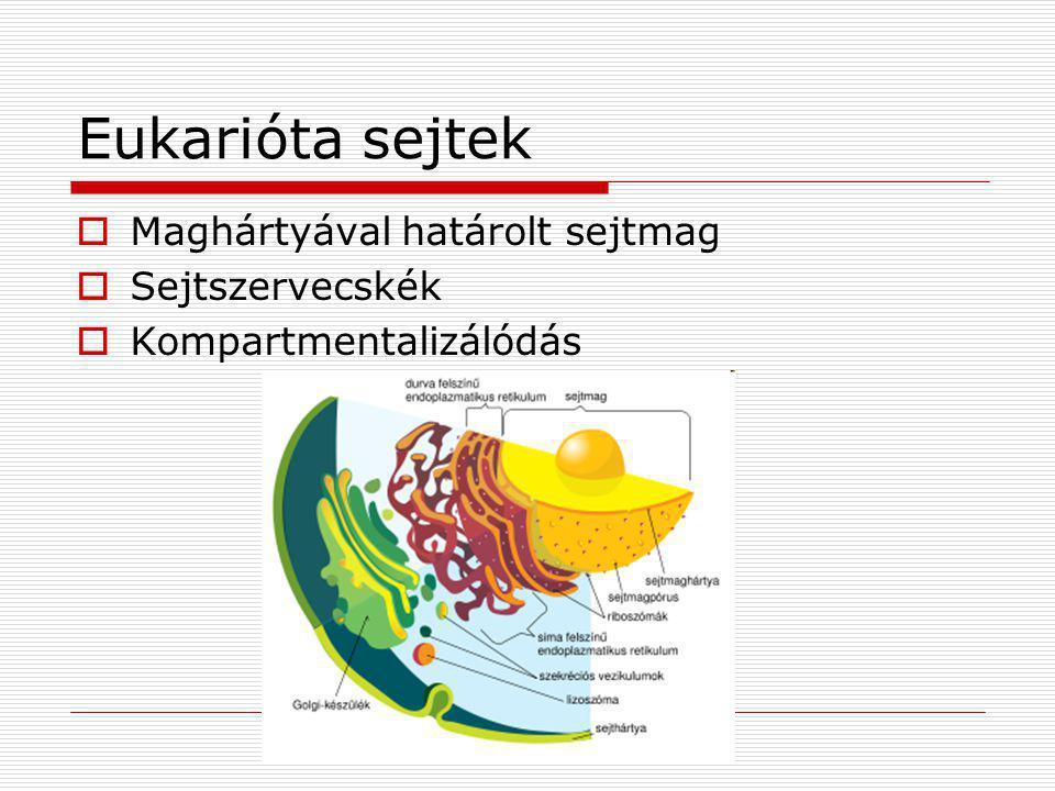 Eukarióta sejtek Maghártyával határolt sejtmag Sejtszervecskék