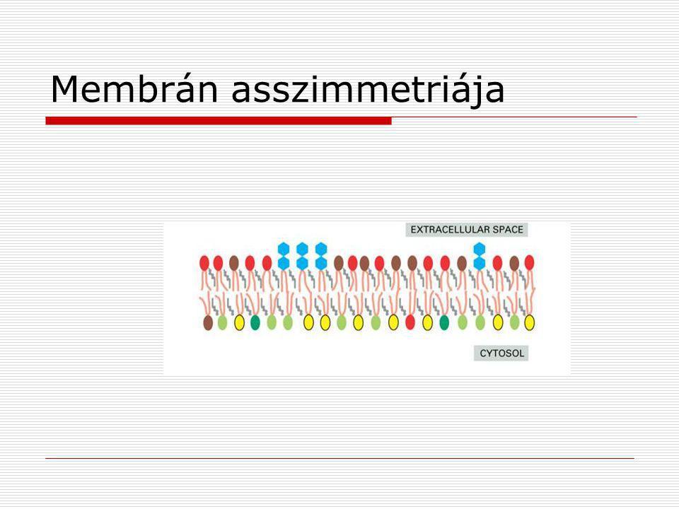 Membrán asszimmetriája