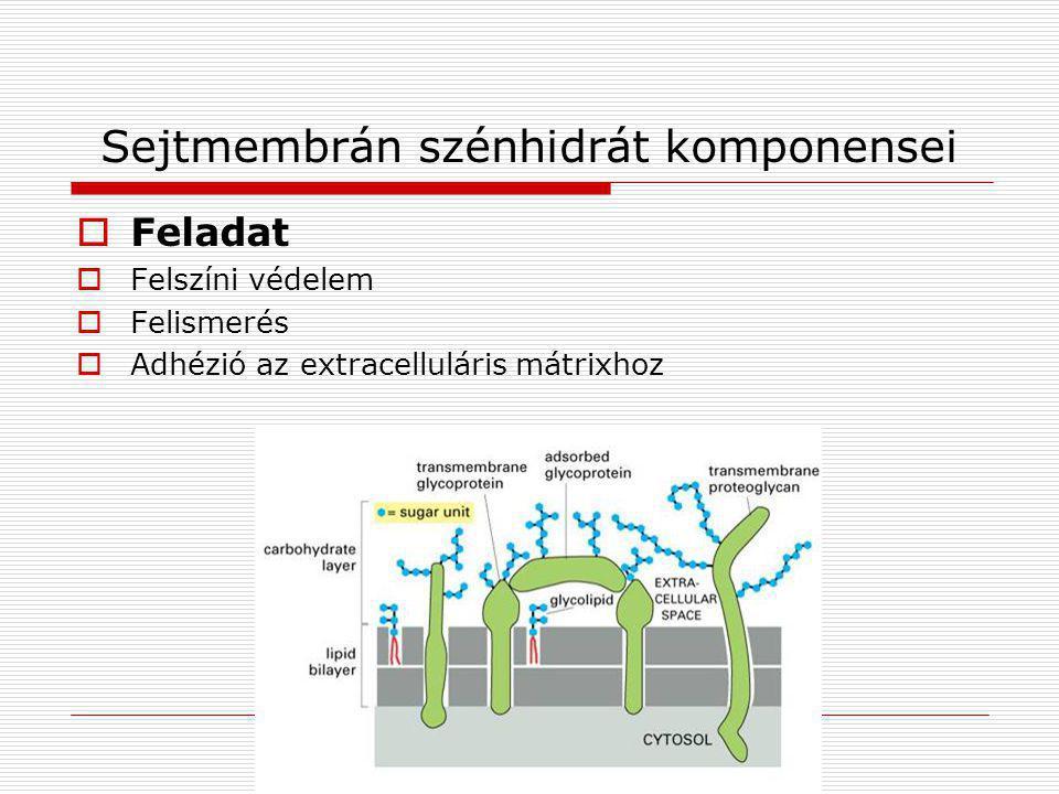 Sejtmembrán szénhidrát komponensei
