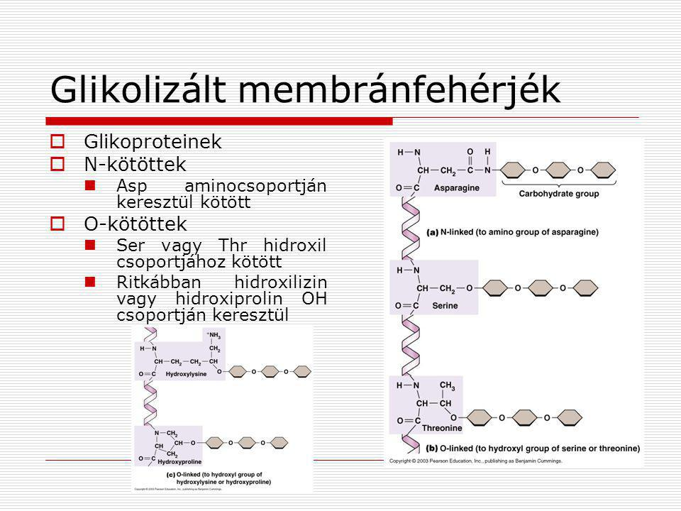 Glikolizált membránfehérjék