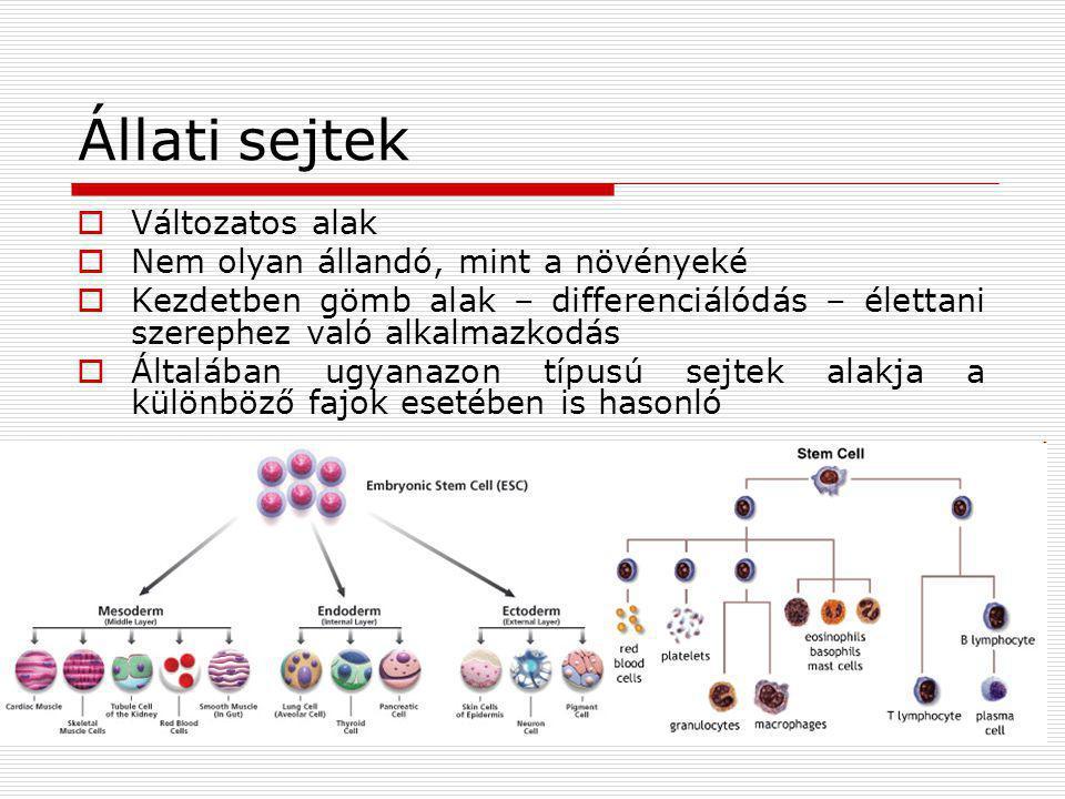 Állati sejtek Változatos alak Nem olyan állandó, mint a növényeké