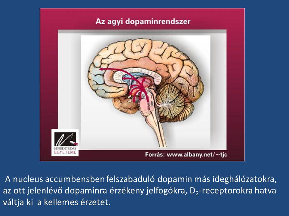 A nucleus accumbensben felszabaduló dopamin más ideghálózatokra, az ott jelenlévő dopaminra érzékeny jelfogókra, D2-receptorokra hatva váltja ki a kellemes érzetet.