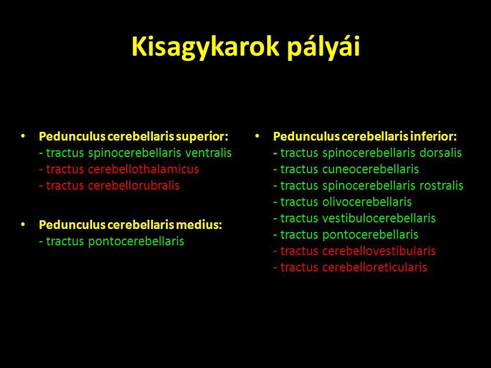 Kisagykarok pályái Pedunculus cerebellaris superior: - tractus spinocerebellaris ventralis - tractus cerebellothalamicus - tractus cerebellorubralis.