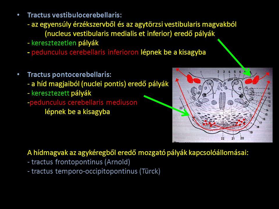Tractus vestibulocerebellaris: - az egyensúly érzékszervből és az agytörzsi vestibularis magvakból (nucleus vestibularis medialis et inferior) eredő pályák - keresztezetlen pályák - pedunculus cerebellaris inferioron lépnek be a kisagyba