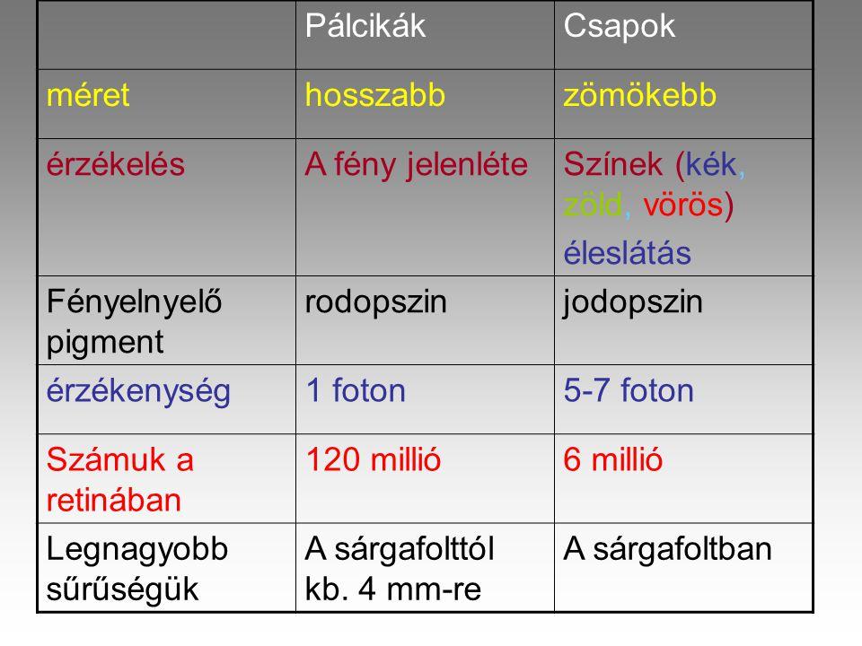 Pálcikák Csapok. méret. hosszabb. zömökebb. érzékelés. A fény jelenléte. Színek (kék, zöld, vörös)