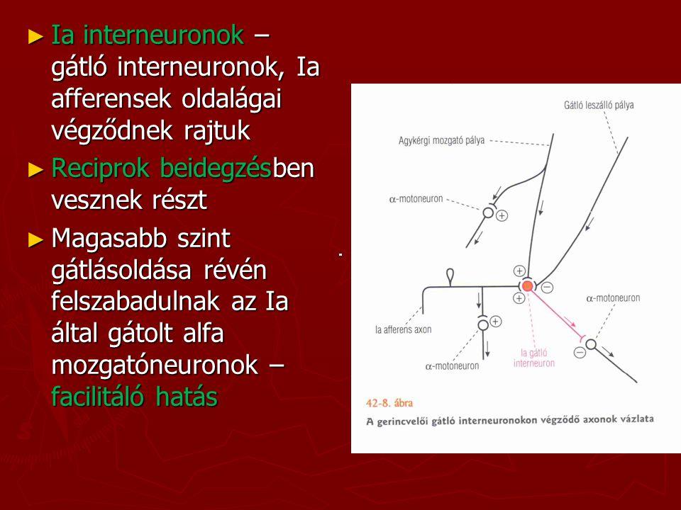 Ia interneuronok – gátló interneuronok, Ia afferensek oldalágai végződnek rajtuk