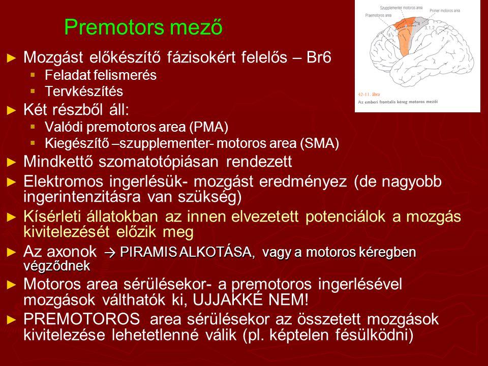 Premotors mező Mozgást előkészítő fázisokért felelős – Br6