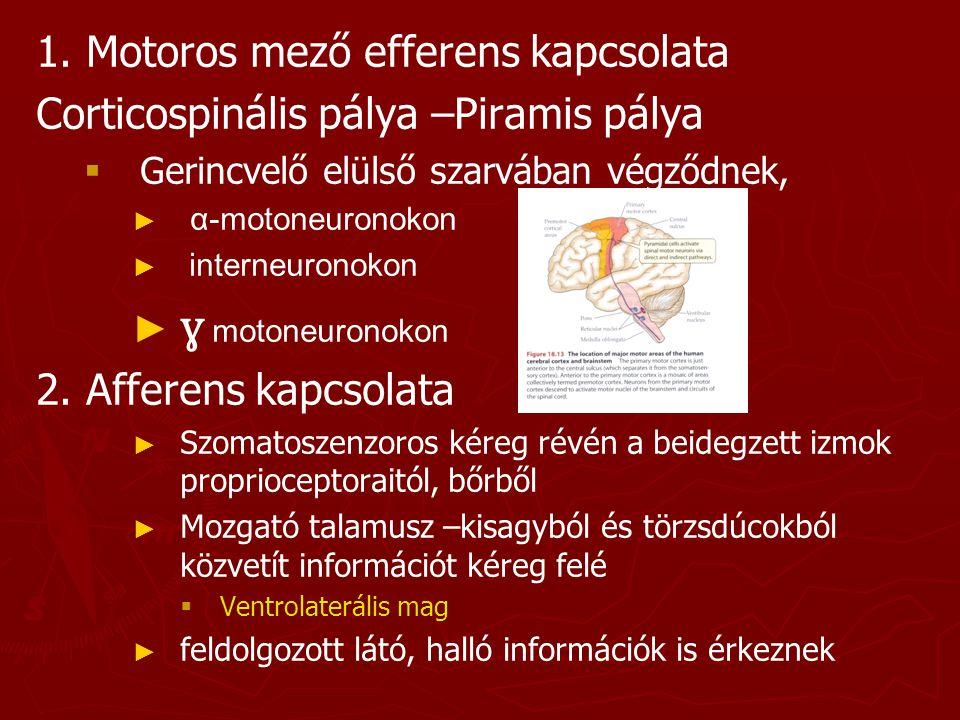 ɣ motoneuronokon 1. Motoros mező efferens kapcsolata