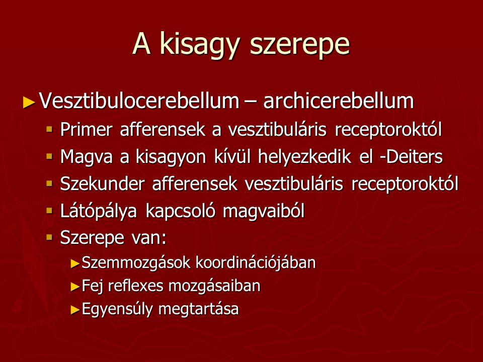 A kisagy szerepe Vesztibulocerebellum – archicerebellum