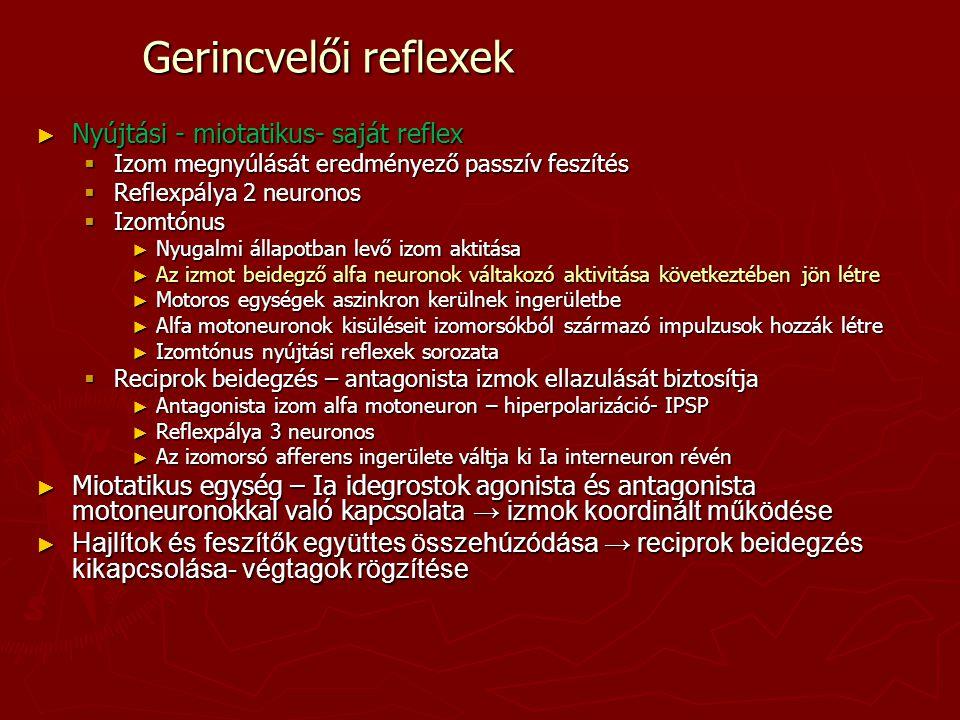 Gerincvelői reflexek Nyújtási - miotatikus- saját reflex
