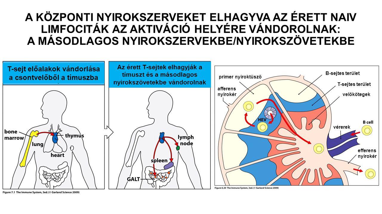 T-sejt előalakok vándorlása a csontvelőből a tímuszba