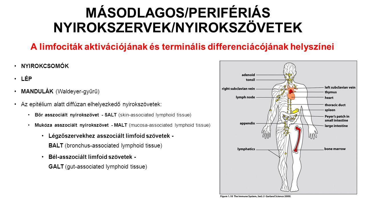 MÁSODLAGOS/PERIFÉRIÁS NYIROKSZERVEK/NYIROKSZÖVETEK