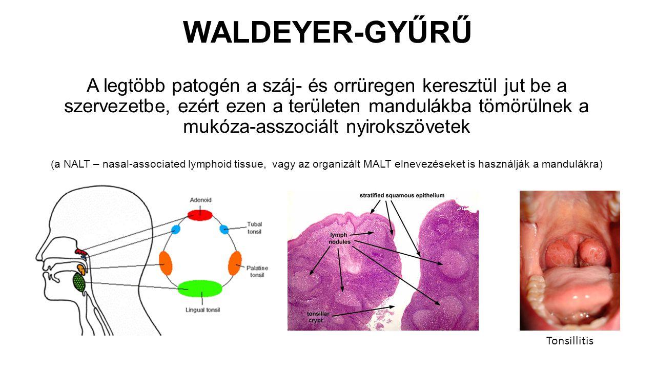 WALDEYER-GYŰRŰ