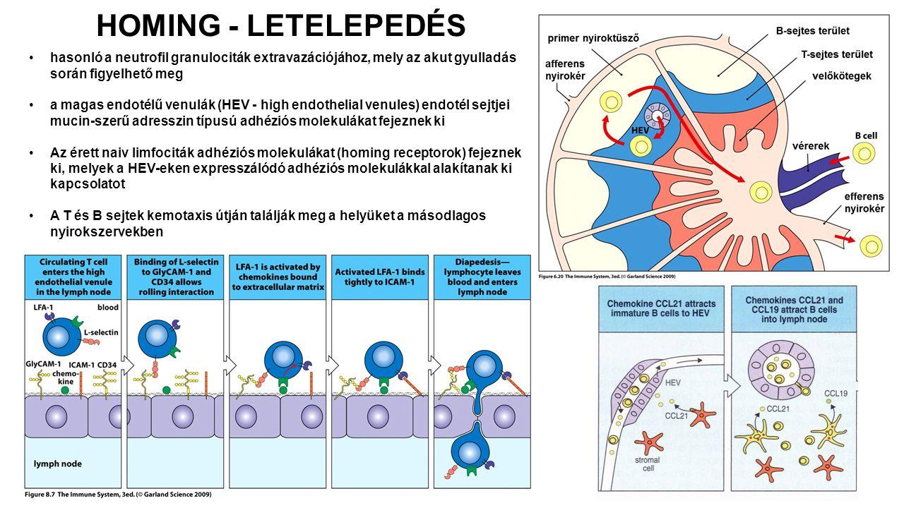 HOMING - LETELEPEDÉS hasonló a neutrofil granulociták extravazációjához, mely az akut gyulladás során figyelhető meg.
