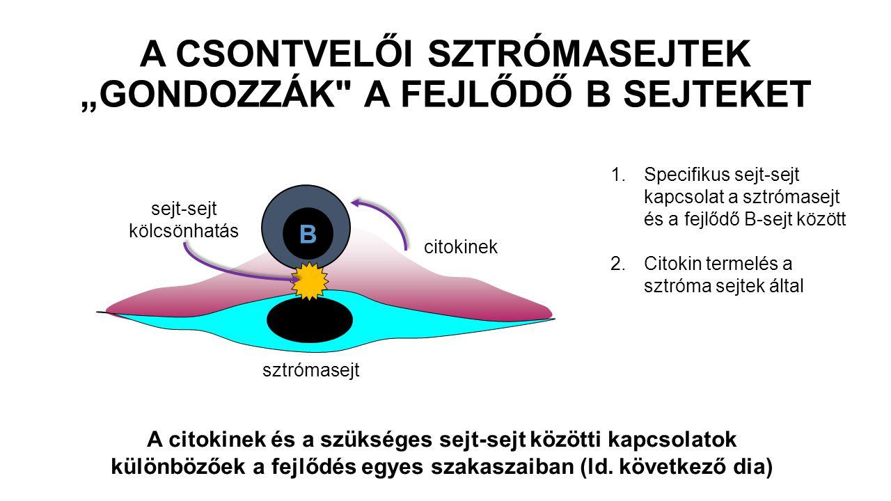 """A CSONTVELŐI SZTRÓMASEJTEK """"GONDOZZÁK A FEJLŐDŐ B SEJTEKET"""