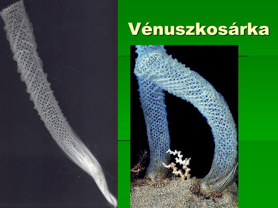 Vénuszkosárka