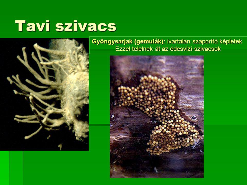 Tavi szivacs Gyöngysarjak (gemulák): ivartalan szaporító képletek