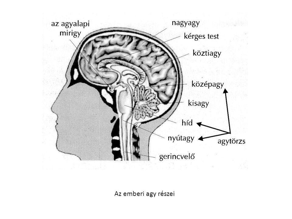 Az emberi agy részei