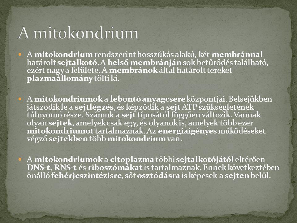 A mitokondrium