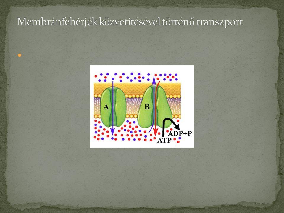 Membránfehérjék közvetítésével történő transzport