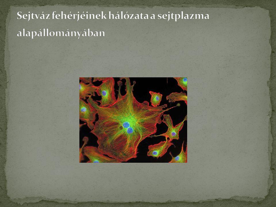 Sejtváz fehérjéinek hálózata a sejtplazma alapállományában