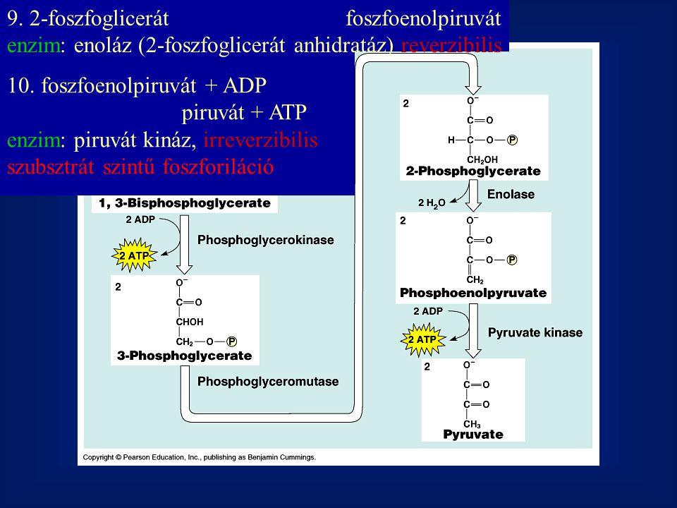 9. 2-foszfoglicerát foszfoenolpiruvát