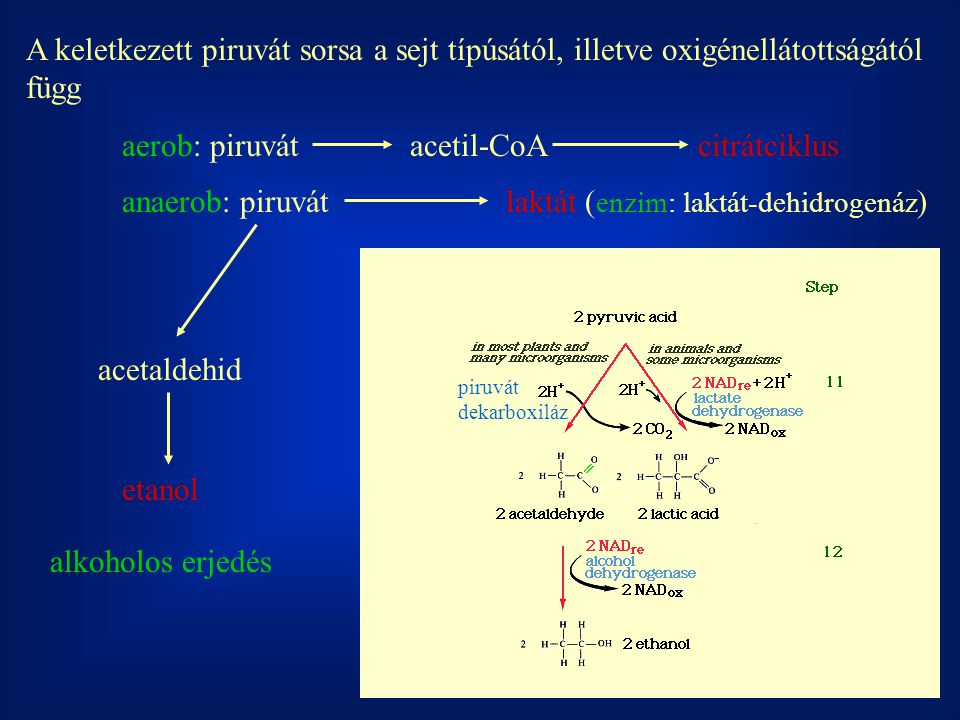 aerob: piruvát acetil-CoA citrátciklus