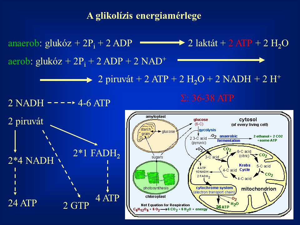 A glikolízis energiamérlege