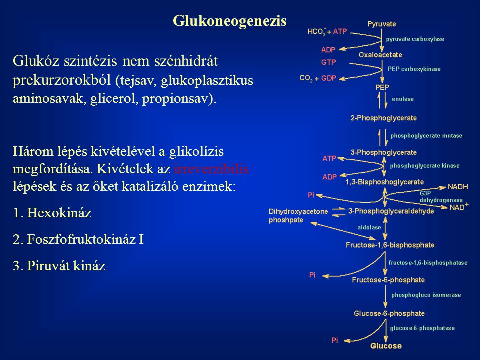 Glukoneogenezis Glukóz szintézis nem szénhidrát prekurzorokból (tejsav, glukoplasztikus aminosavak, glicerol, propionsav).