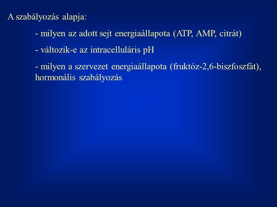 A szabályozás alapja: - milyen az adott sejt energiaállapota (ATP, AMP, citrát) - változik-e az intracelluláris pH.
