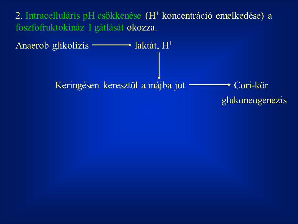 2. Intracelluláris pH csökkenése (H+ koncentráció emelkedése) a foszfofruktokináz I gátlását okozza.
