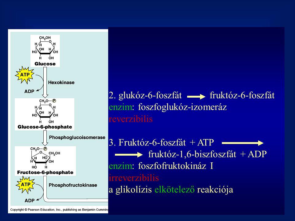 2. glukóz-6-foszfát fruktóz-6-foszfát