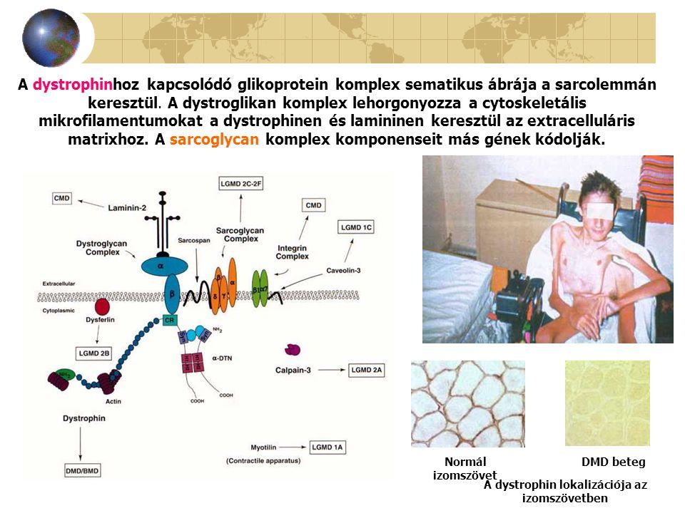 A dystrophin lokalizációja az izomszövetben