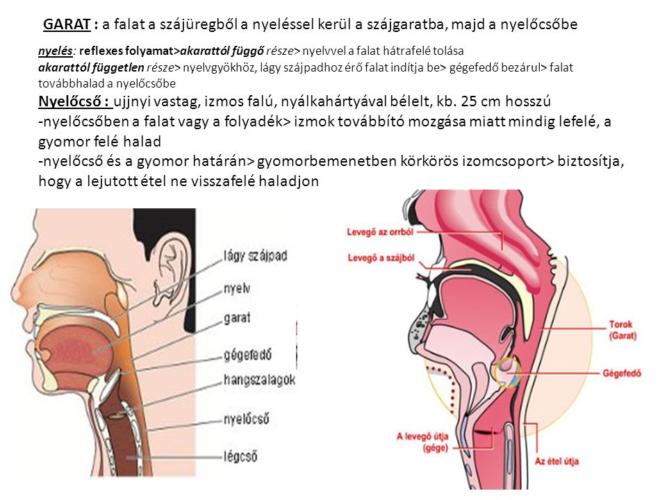 GARAT : a falat a szájüregből a nyeléssel kerül a szájgaratba, majd a nyelőcsőbe