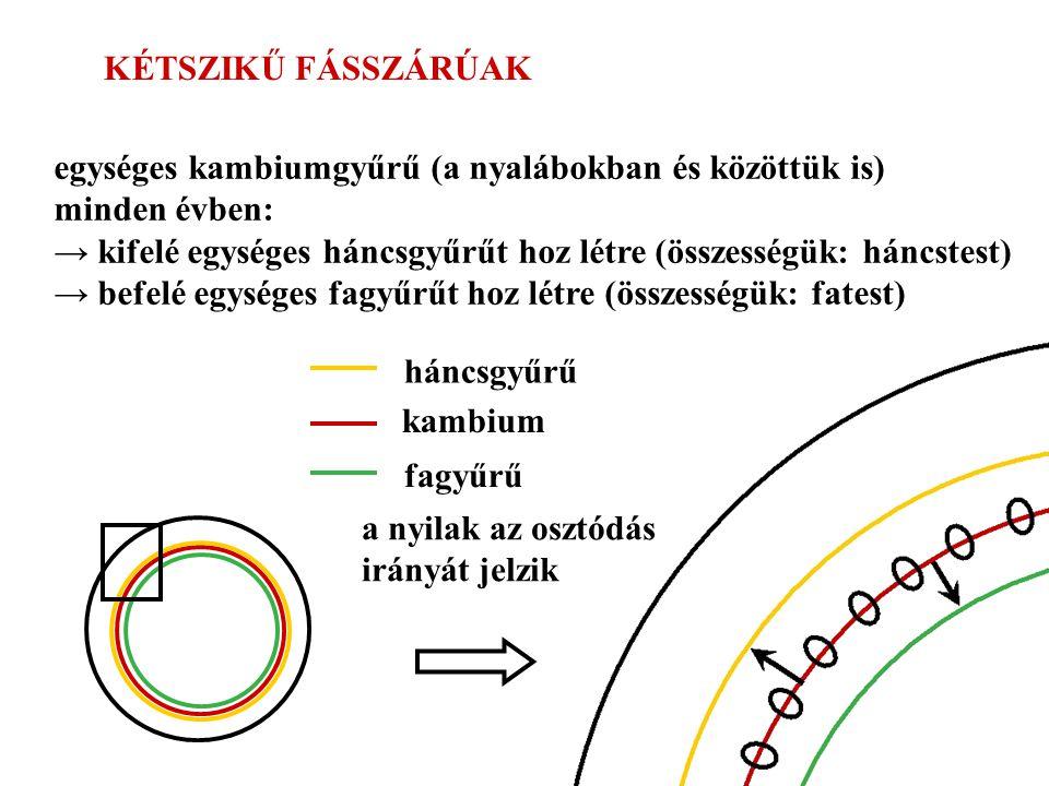 KÉTSZIKŰ FÁSSZÁRÚAK egységes kambiumgyűrű (a nyalábokban és közöttük is) minden évben:
