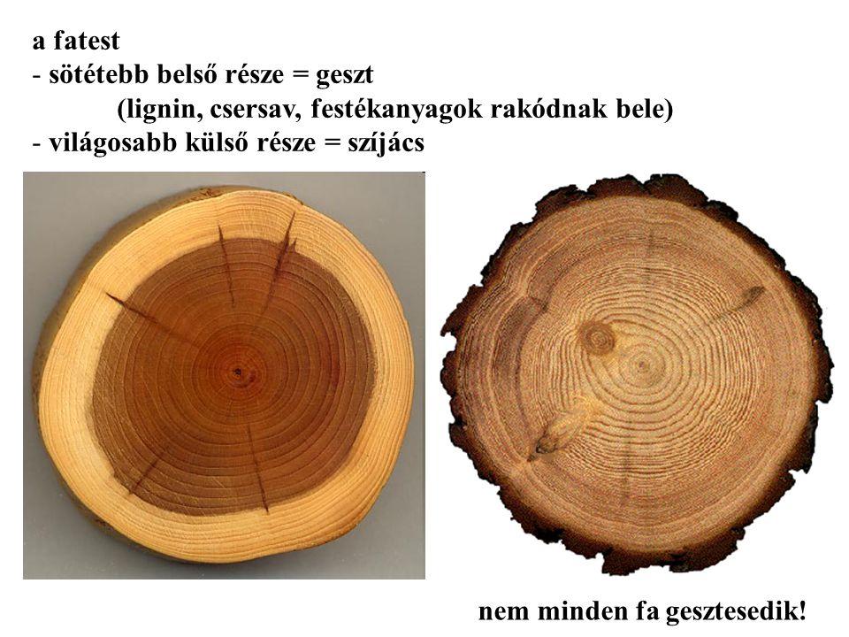 a fatest sötétebb belső része = geszt (lignin, csersav, festékanyagok rakódnak bele) világosabb külső része = szíjács.
