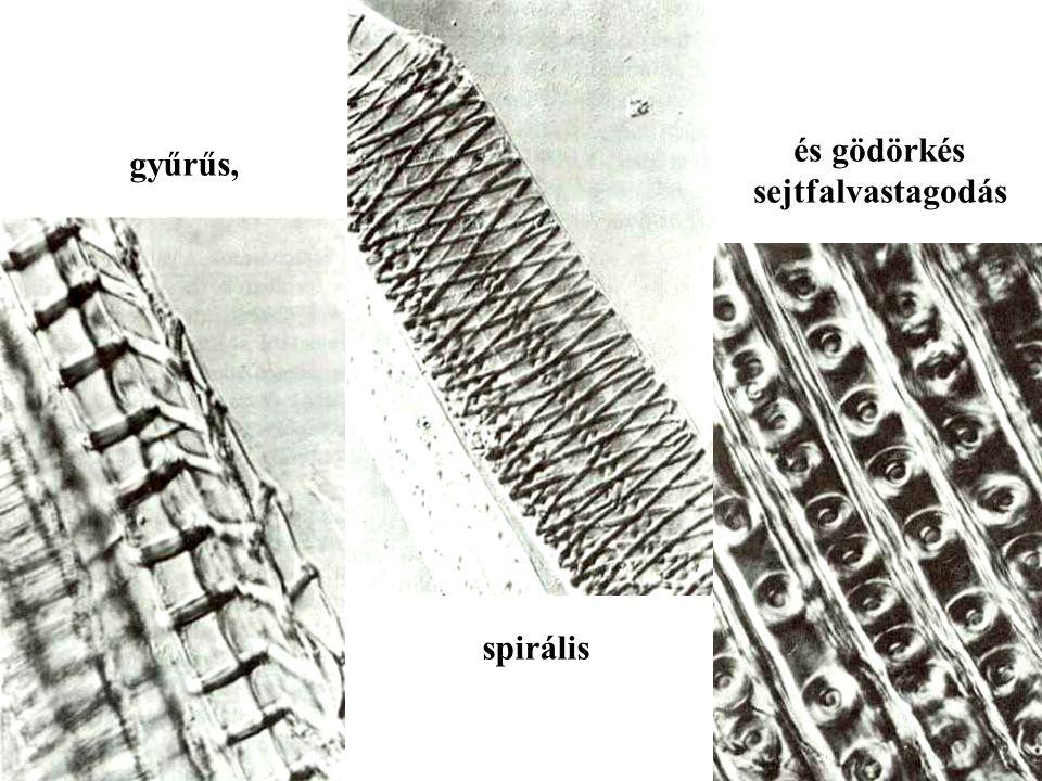 és gödörkés sejtfalvastagodás gyűrűs, spirális