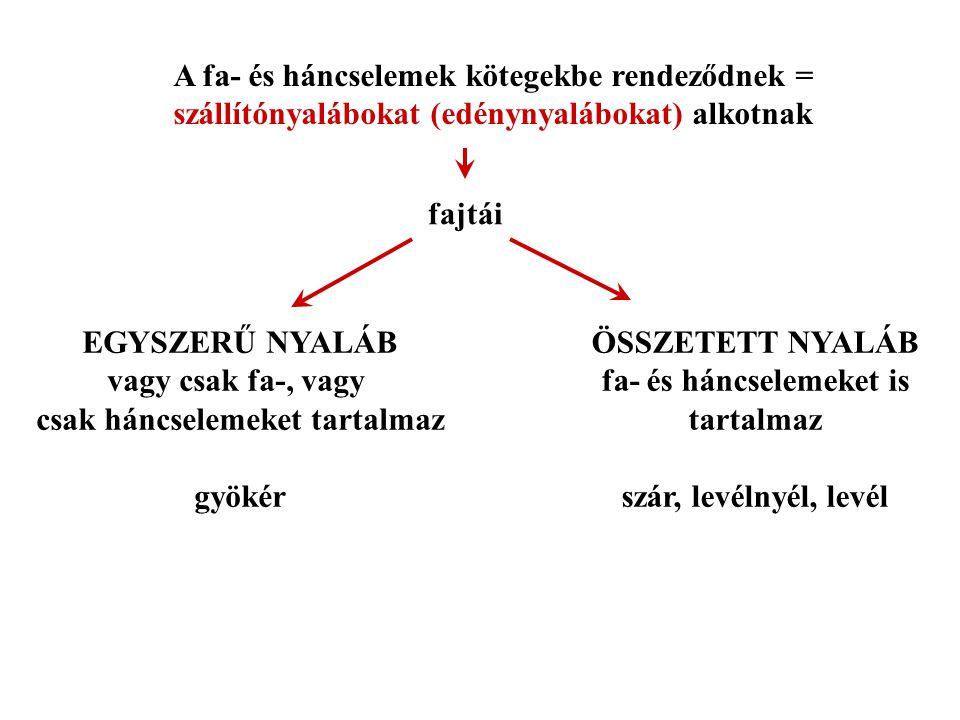 A fa- és háncselemek kötegekbe rendeződnek =