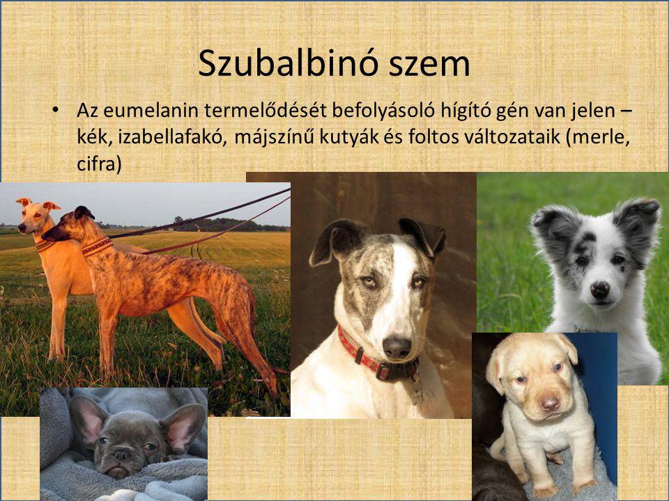 Szubalbinó szem Az eumelanin termelődését befolyásoló hígító gén van jelen – kék, izabellafakó, májszínű kutyák és foltos változataik (merle, cifra)