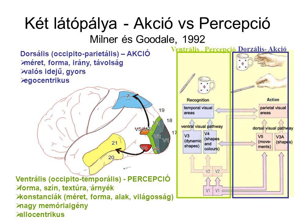 Két látópálya - Akció vs Percepció Milner és Goodale, 1992