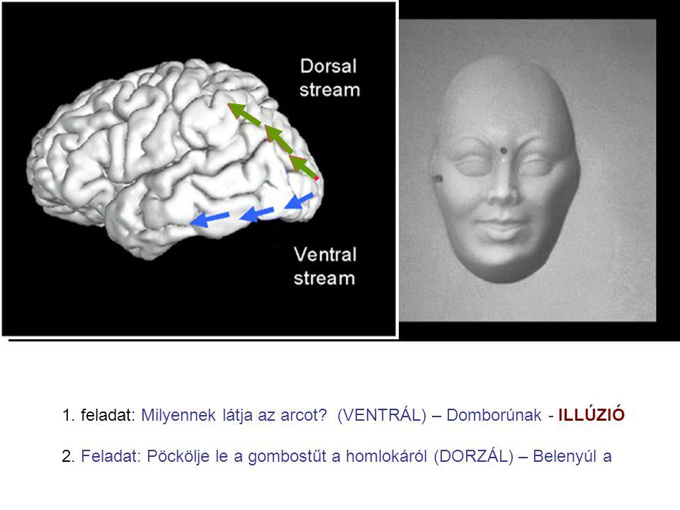 1. feladat: Milyennek látja az arcot (VENTRÁL) – Domborúnak - ILLÚZIÓ