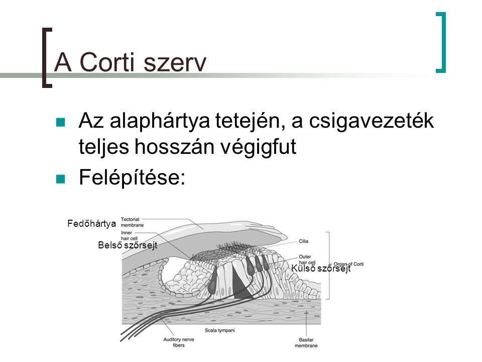 A Corti szerv Az alaphártya tetején, a csigavezeték teljes hosszán végigfut. Felépítése: Fedőhártya.